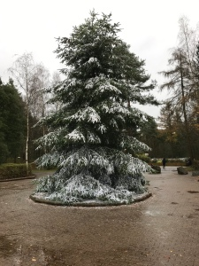 An enormous real fur tree dusted with fake snow.