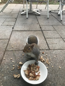 A close up photo of the squirrel pinching toast from a bowl on our patio.