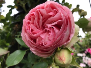 A close up photo of a large pink rose with many many layers of petals. There is a rose bud just underneath.