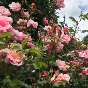 Close up photo of a rose bush with pink roses in bloom and buds