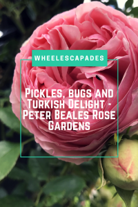 An image to pin. A close up of a pink rose with the title text Pickles, Bugs and Turkish Delight - Peter Beales Rose Gardens placed over