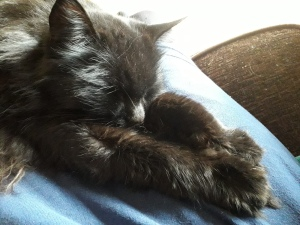 A fluffy black cat laying with his front legs stretched forwards. He is on a blue cushion.