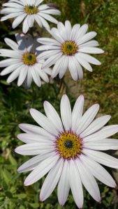 A close up photo of giant white and purple flecked giant daisies in my garden.
