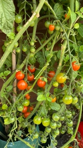 A close up photo of one tomato plant growing 50 to 60 tomatoes ranging through green, orange to bright red.