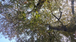 A photo taken looking up into the trees. There are two big tree trunks, lots of branches and green leaves. Blue sky can be seen through them.