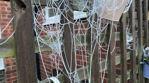 Spider web hanging like ropes from a fence.