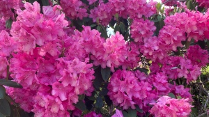 A close up on clusters of bright pink flowers on a large tree.